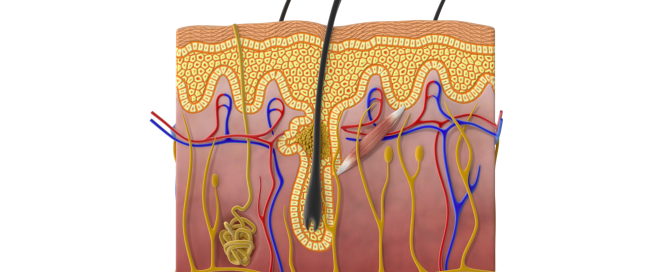 Illustration of Skin Structure